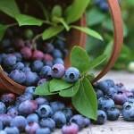 Корисні властивості чорниці. вітаміни, здоров'я, здорове харчування, здоровий спосіб життя, їжа, народна медицина, очищення нирок, фрукти, цукровий діабет